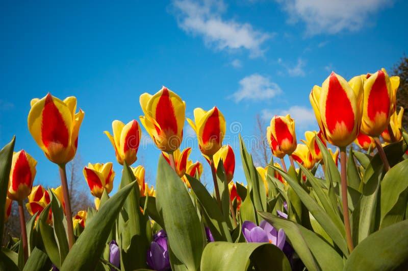 Download Tulipes Hollandaises Colorées Image stock - Image du botanique, holland: 2138665
