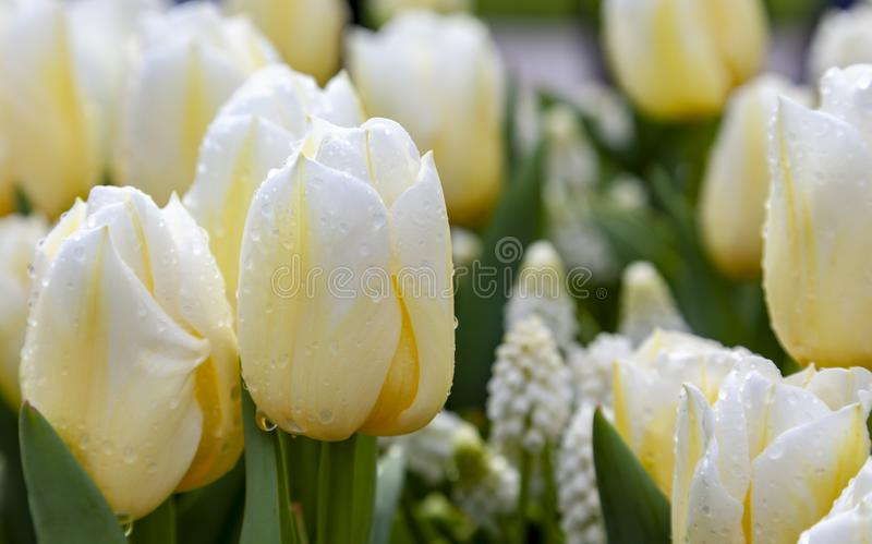 Tulipes humides jaunâtres photographie stock