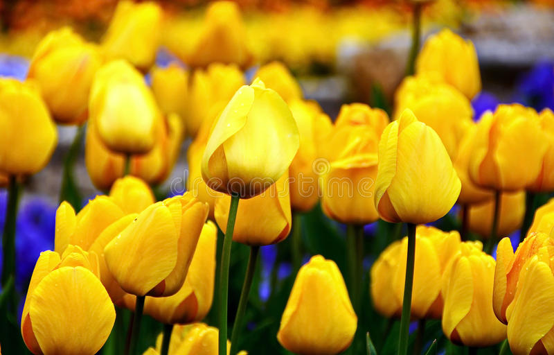 Tulipes jaunes photos libres de droits
