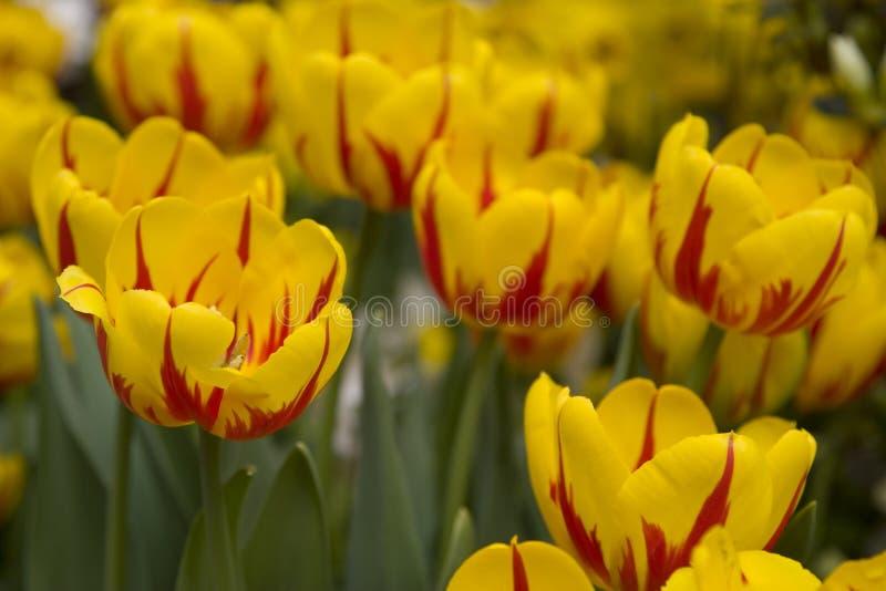 Download Tulipes jaunes image stock. Image du tulipe, tulipes, jaune - 732409
