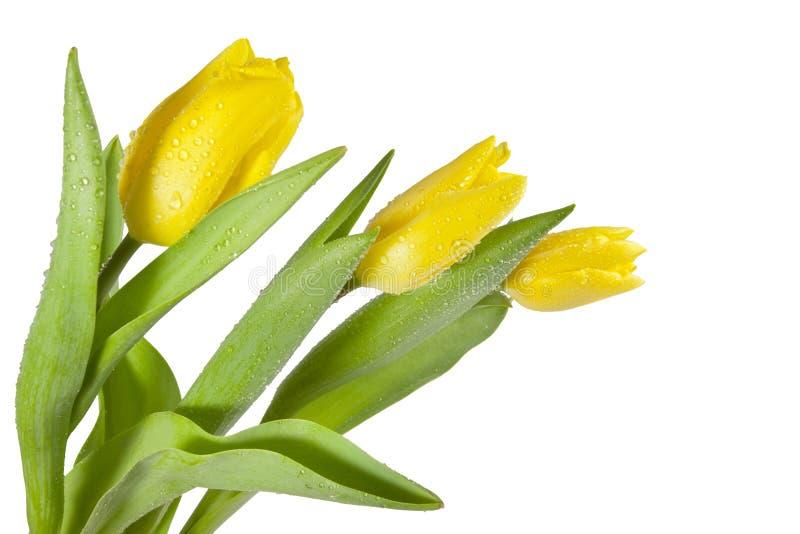 Tulipes jaunes avec des baisses de l'eau photos stock