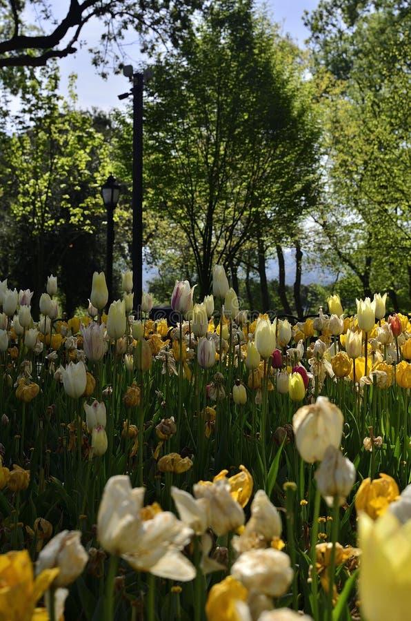 Tulipes jaunes et blanches au printemps III image libre de droits