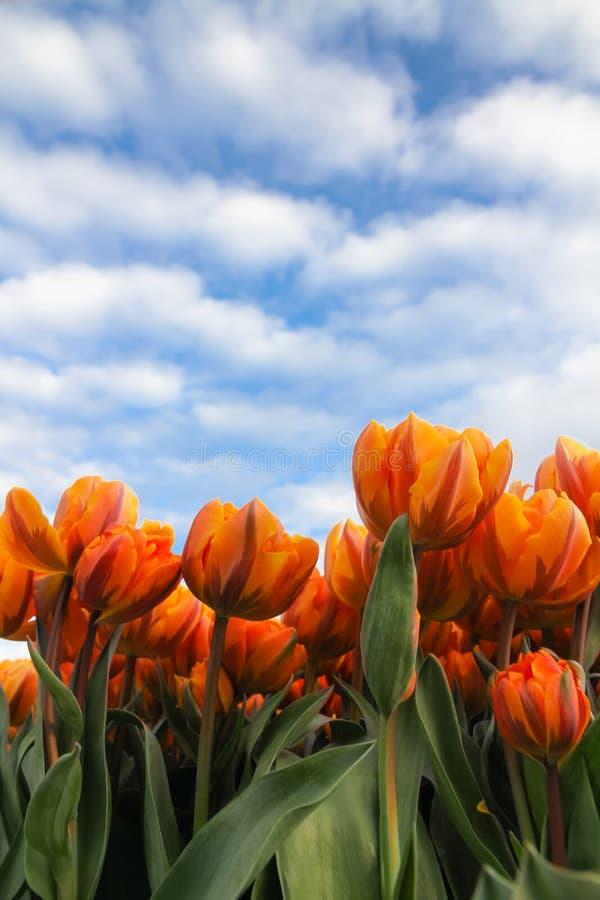 Tulipes jaunes et oranges avec la tige verte contre un ciel bleu ensoleillé avec des nuages pendant le printemps photographie stock libre de droits