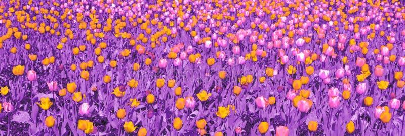 Tulipes jaunes et roses avec les feuilles pourpres illustration libre de droits