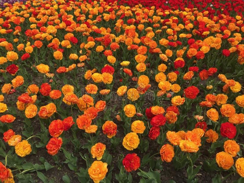Tulipes jaunes, oranges et rouges colorées Fond floral Lit de fleur de tulipe photos stock