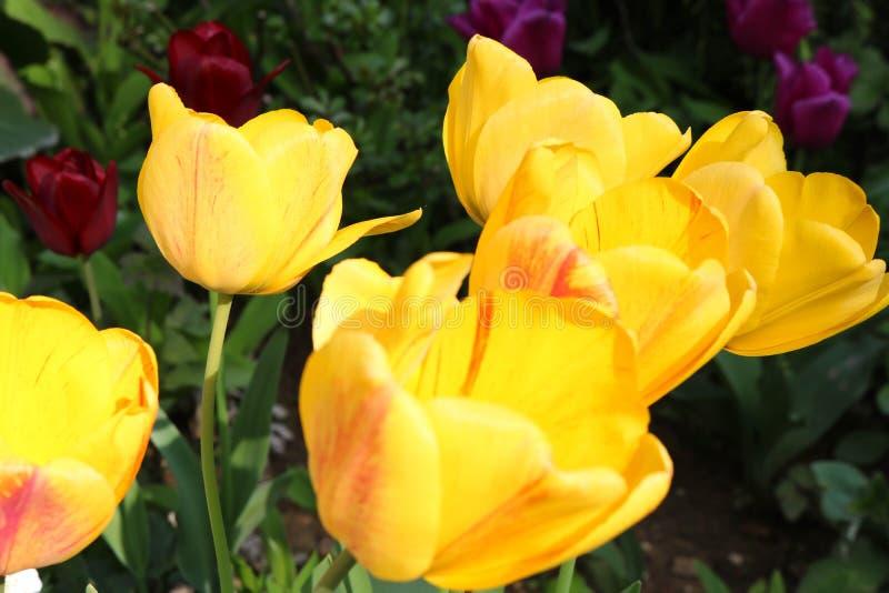 Tulipes jaunes rouges appréciant le ressort druring du soleil images libres de droits