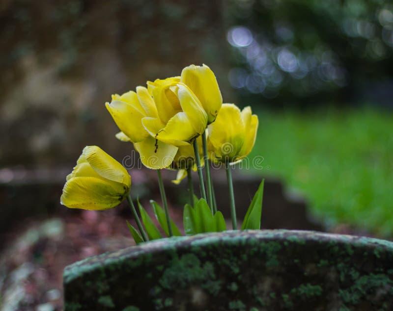 Tulipes jaunes sur la pierre tombale photo stock