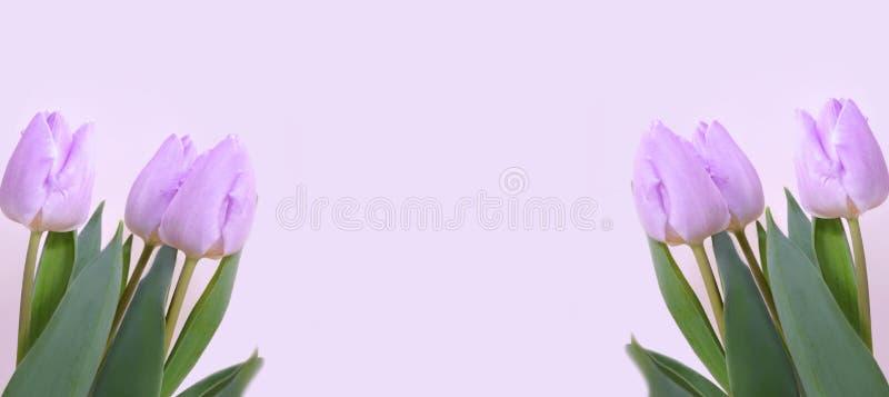 Tulipes lilas de deux côtés sur un fond lilas image libre de droits
