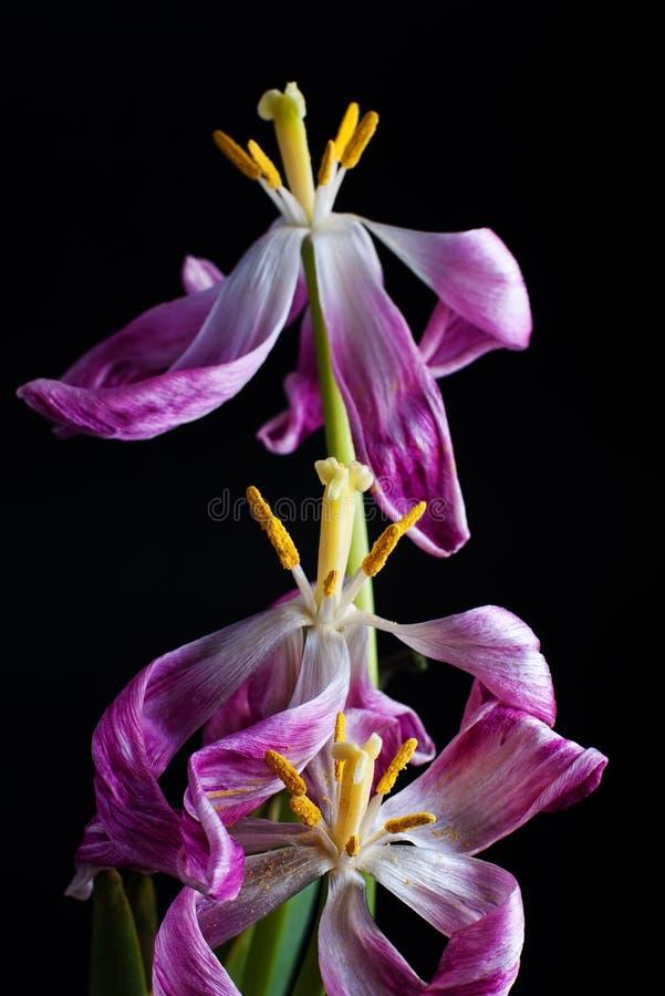 Tulipes mourantes sur le noir photos stock