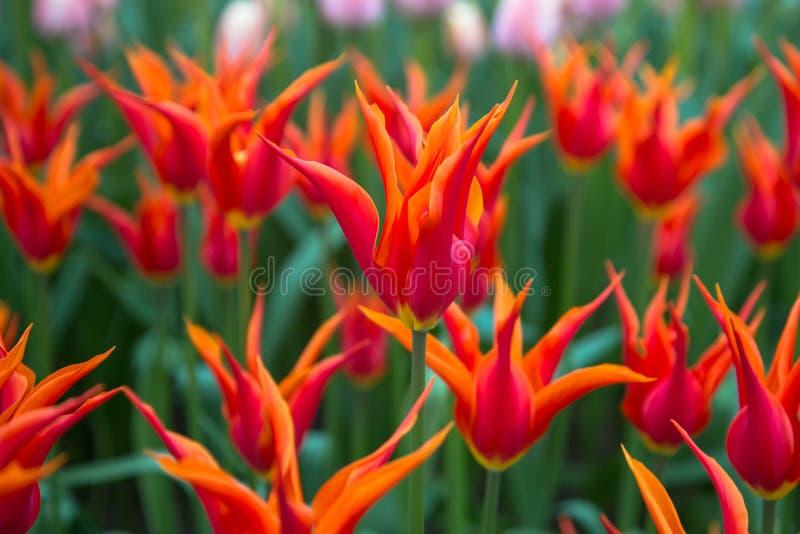 Tulipes multicolores de fleurs de ressort lumineux Fond floral de source photo libre de droits
