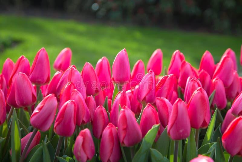 Tulipes multicolores de fleurs de ressort lumineux Fond floral de source images stock