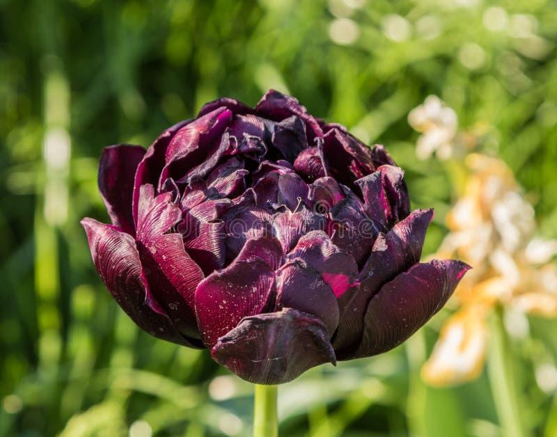 Tulipes multicolores plantées photos stock