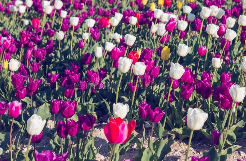 Tulipes multicolores sur le champ un jour ensoleillé photos libres de droits