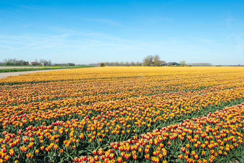 Tulipes multicolores sur un grand champ d'une crèche néerlandaise d'ampoules photos stock