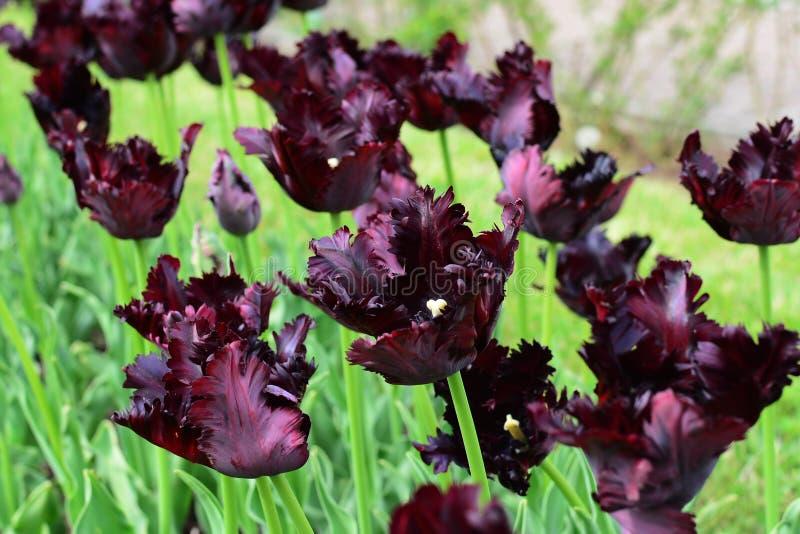 Tulipes noires de perroquet image libre de droits