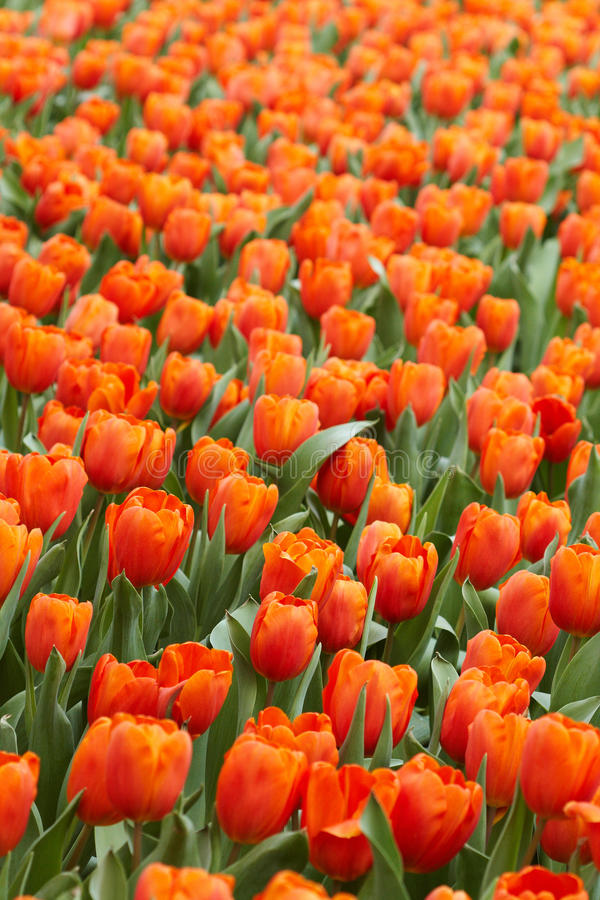 Tulipes oranges photos stock