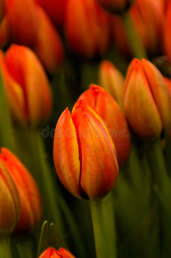 Tulipes oranges photo stock