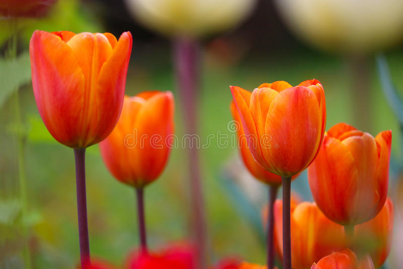 Tulipes oranges photographie stock
