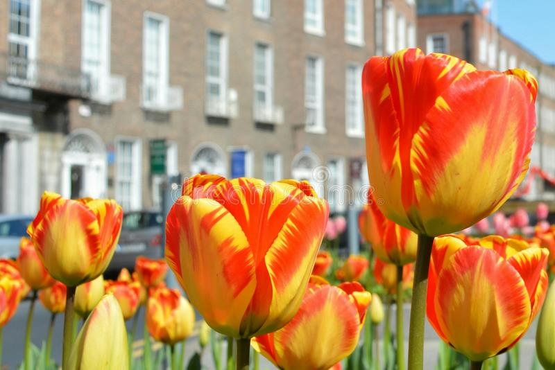 Tulipes oranges et jaunes images libres de droits