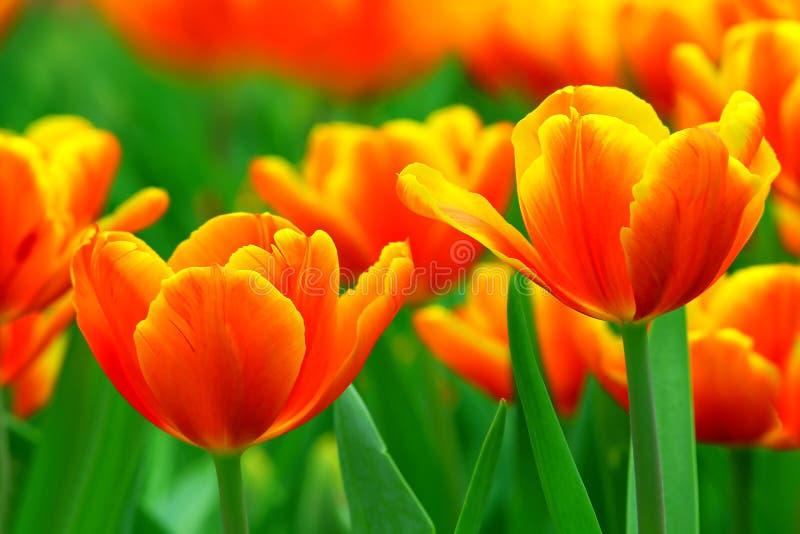 Tulipes oranges inclinées par jaune vibrant photos stock