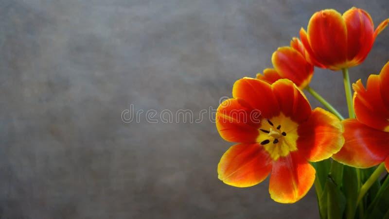 Tulipes oranges postcard images stock