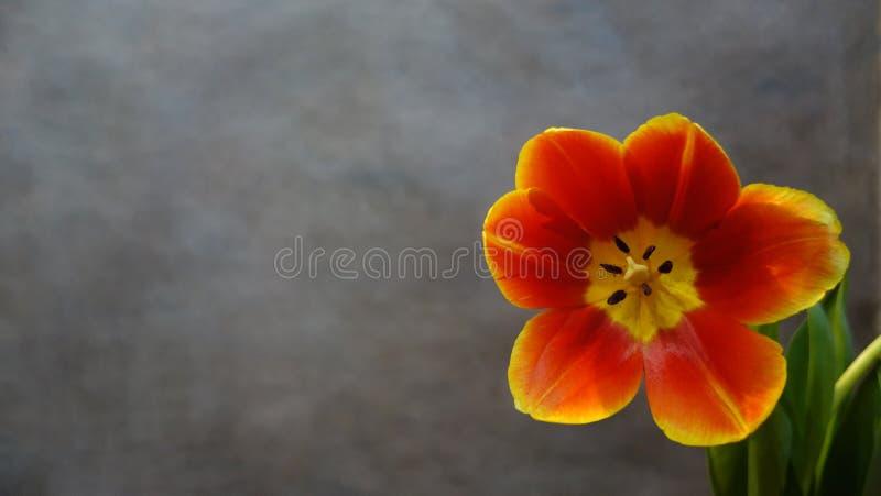 Tulipes oranges postcard photo libre de droits