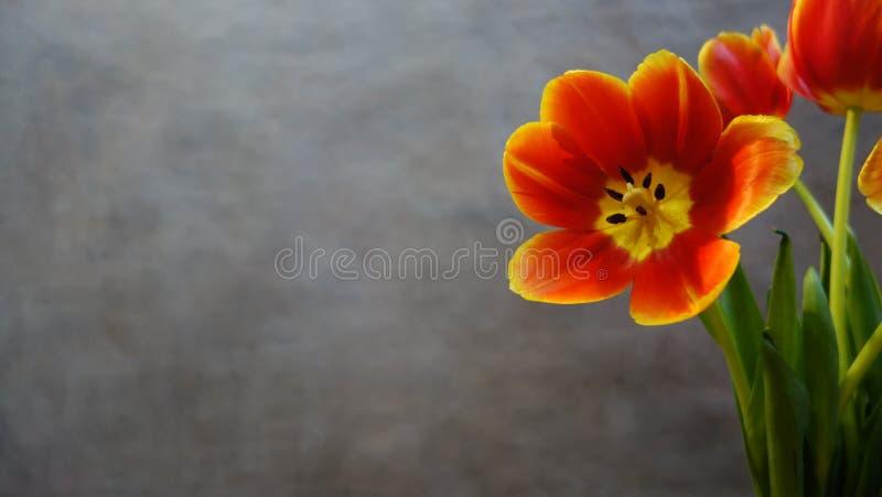 Tulipes oranges postcard photographie stock libre de droits