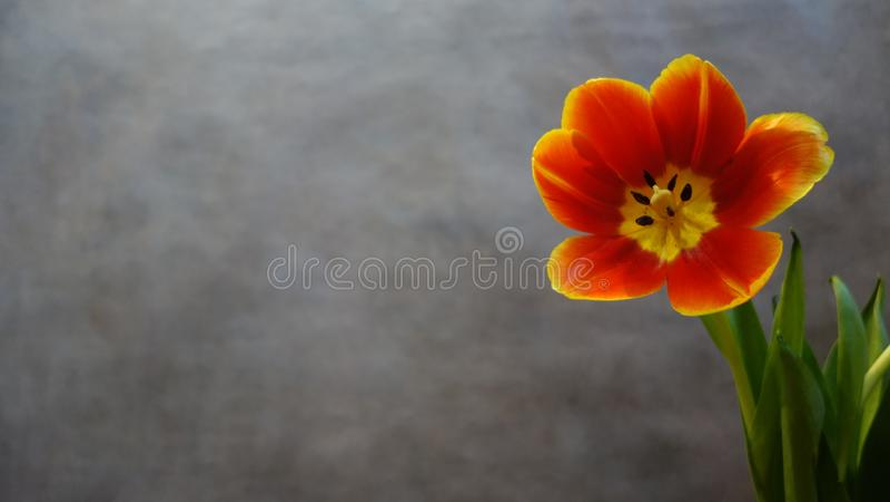 Tulipes oranges postcard image stock