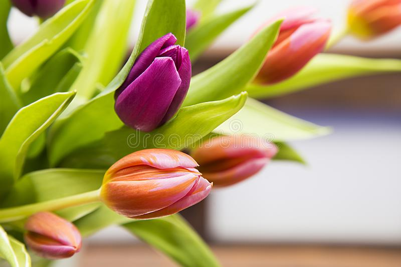 Tulipes pendant des fêtes des mères photo stock