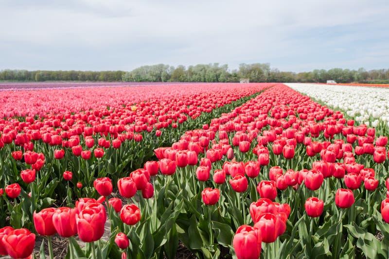 Tulipes pendant le printemps en Hollande image libre de droits