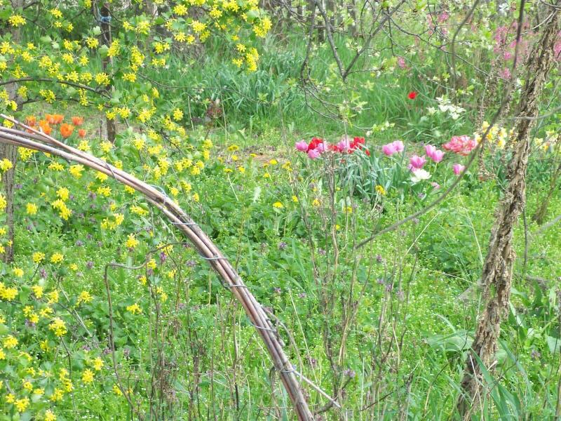 Tulipes, pissenlits et groseille-Bush de floraison images libres de droits