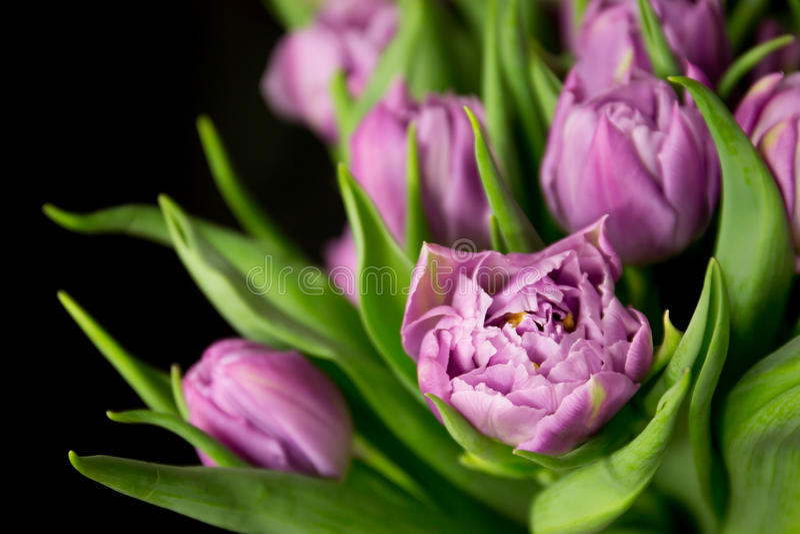 Tulipes pourpres photographie stock