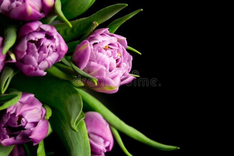 Tulipes pourpres photo libre de droits