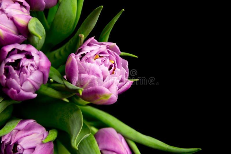 Tulipes pourpres photos stock