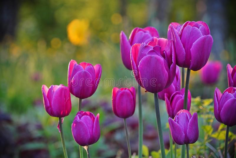 Tulipes pourpres en parc, fond brouillé images stock