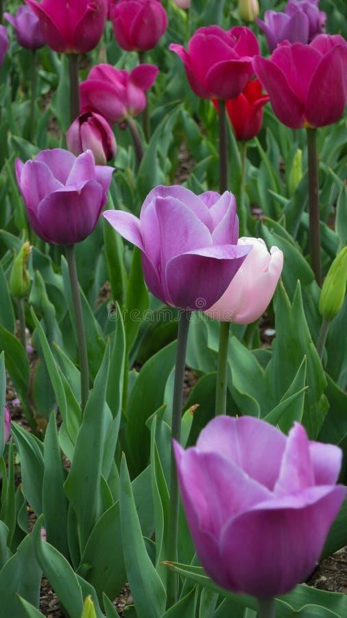 Tulipes pourpres et roses dans le jardin photographie stock