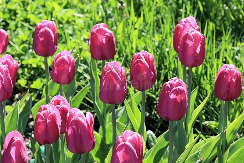 Tulipes pourpres sensibles, comme décoration expressive du festival de printemps de la vie image stock