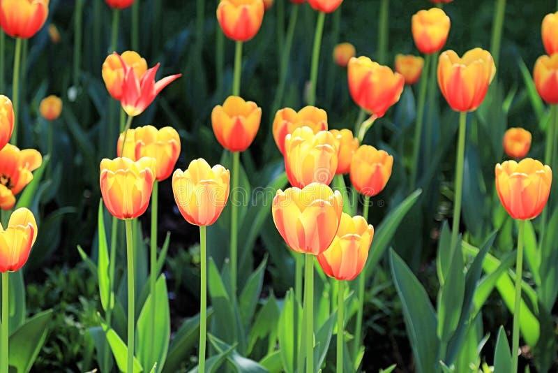 Tulipes qui ont attrapé les rayons du soleil et ont brillé avec la beauté extraordinaire images libres de droits