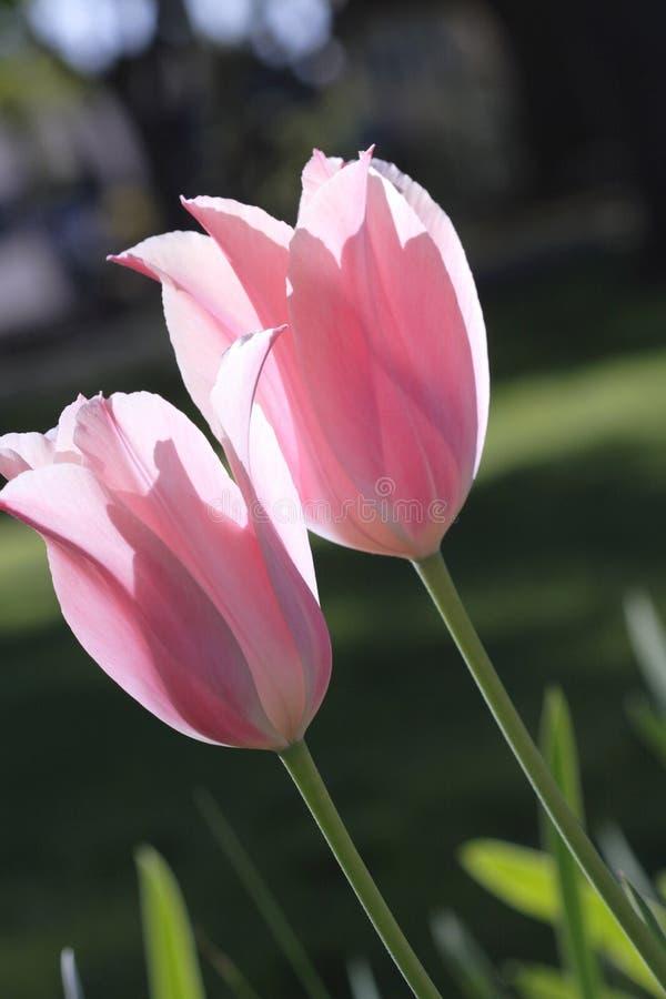 Download Tulipes roses photo stock. Image du lueur, fleurs, rose - 732658