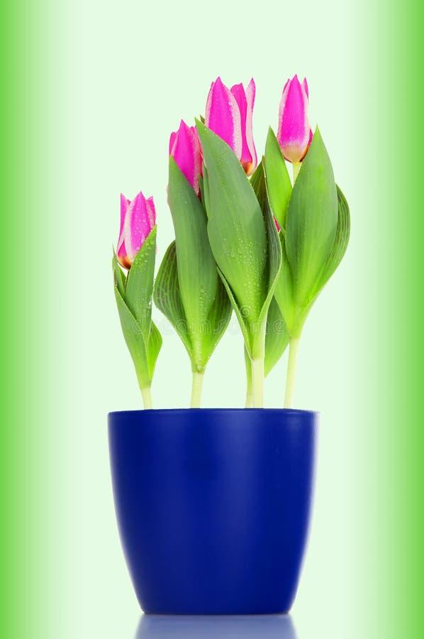 Tulipes roses (amour rose) dans un flowerpot bleu images libres de droits