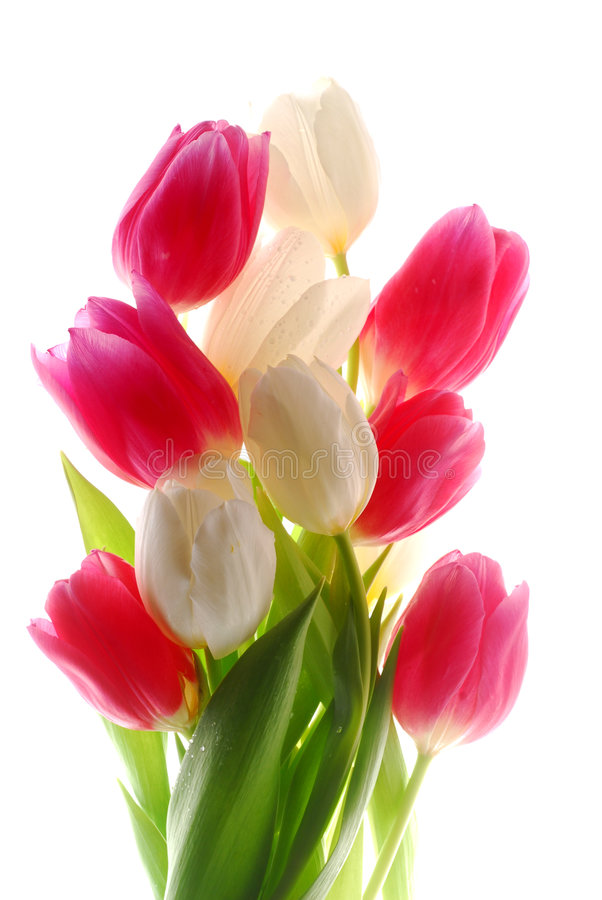 tulipes roses blanches photographie stock