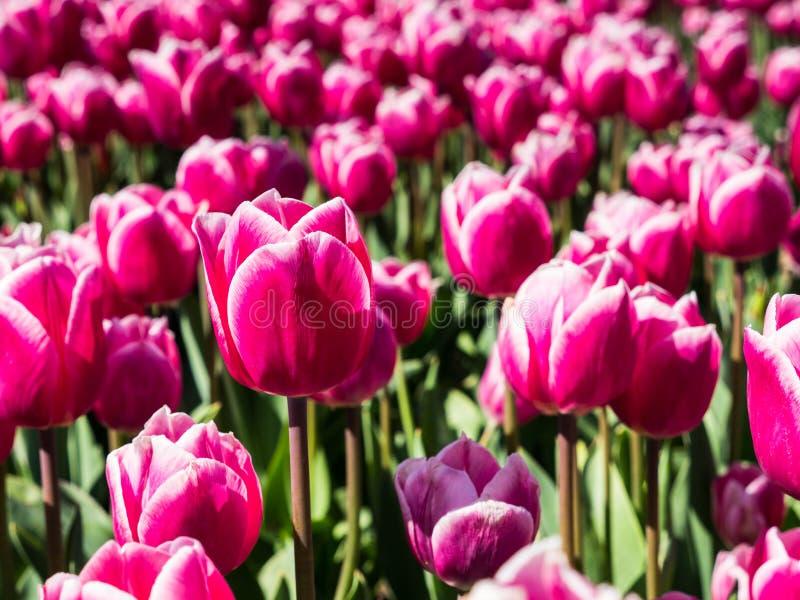 Tulipes roses dans le domaine images stock