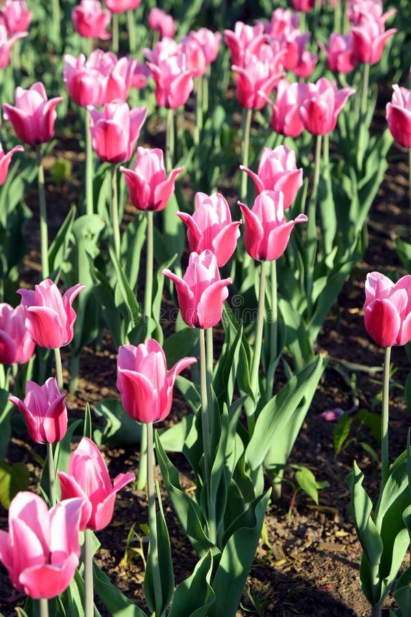 Tulipes roses dans le jardin dans la journée de printemps ensoleillée image libre de droits