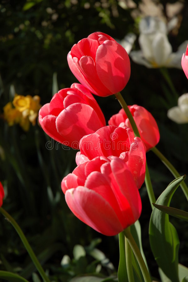 Tulipes roses de source photo stock