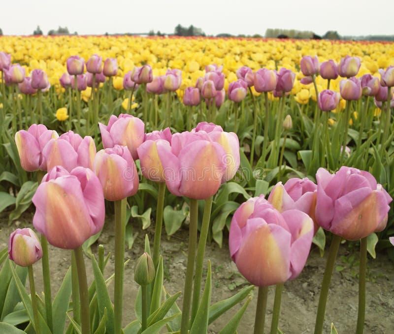 Tulipes roses et jaunes images libres de droits
