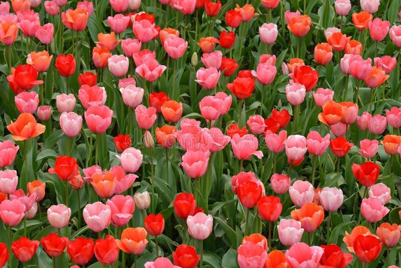 Tulipes roses et rouges image stock