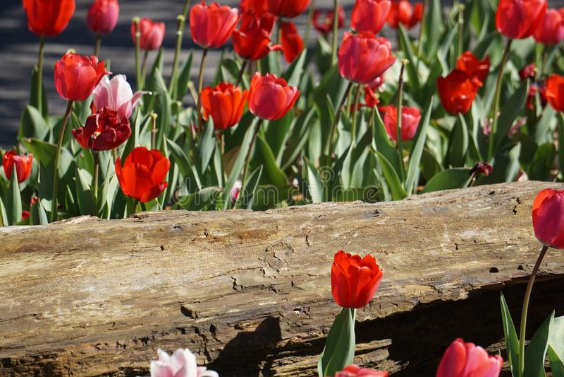 Tulipes roses et rouges de ressort photo libre de droits