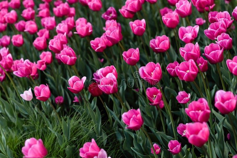 Tulipes roses - photo avec un bon nombre de fleurs photos stock