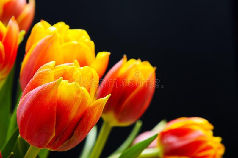 tulipes Rouge-oranges avec des baisses de l'eau sur un fond noir Fond floral Carte postale, l'espace de copie photo libre de droits