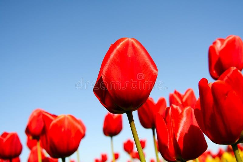 Tulipes rouges photos libres de droits